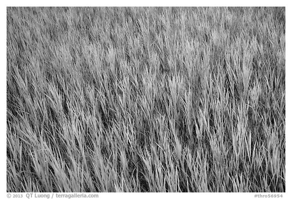 Grasses in summer, Elkhorn Ranch Unit. Theodore Roosevelt National Park (black and white)