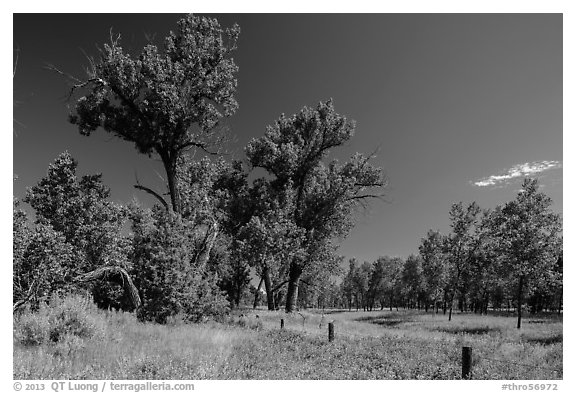 Old cottonwoods, and Elkhorn Ranch site fence. Theodore Roosevelt National Park (black and white)