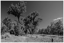 Old cottonwoods, and Elkhorn Ranch site fence. Theodore Roosevelt National Park ( black and white)