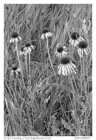 Prairie flowers and grasses. Theodore Roosevelt National Park (black and white)
