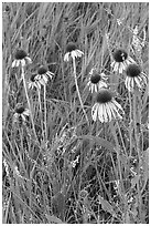 Prairie flowers and grasses. Theodore Roosevelt National Park ( black and white)