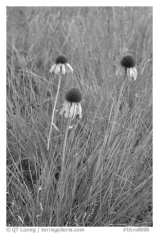 Prairie flowers. Theodore Roosevelt National Park (black and white)
