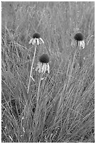 Prairie flowers. Theodore Roosevelt National Park, North Dakota, USA. (black and white)