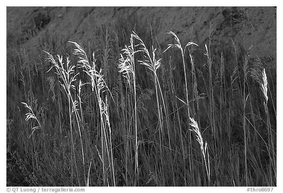 Backlit tall grasses. Theodore Roosevelt National Park (black and white)