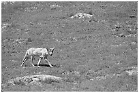 Coyote roaming in  prairie dog town, South Unit. Theodore Roosevelt National Park ( black and white)