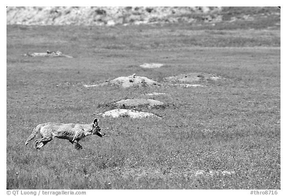 Coyote and  prairie dog burrows, South Unit. Theodore Roosevelt National Park (black and white)