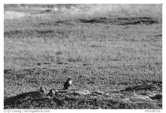 Prairie Dogs look out cautiously, South Unit. Theodore Roosevelt National Park (black and white)