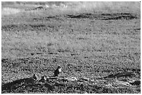 Prairie Dogs look out cautiously, South Unit. Theodore Roosevelt National Park ( black and white)