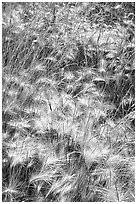 Barley grasses. Theodore Roosevelt National Park, North Dakota, USA. (black and white)