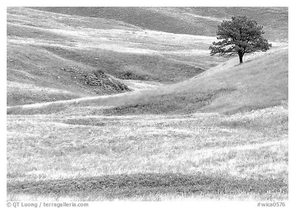 Grassy hills and tree. Wind Cave National Park (black and white)