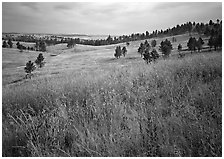 Grasses and rolling hills with pine trees. Wind Cave  National Park ( black and white)