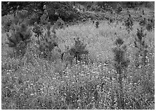 Purple Horsemint flowers and young ponderosa pines. Wind Cave National Park ( black and white)