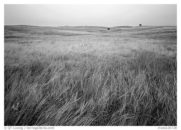 Prairie of tall grasses with subtle autumn color. Wind Cave National Park (black and white)