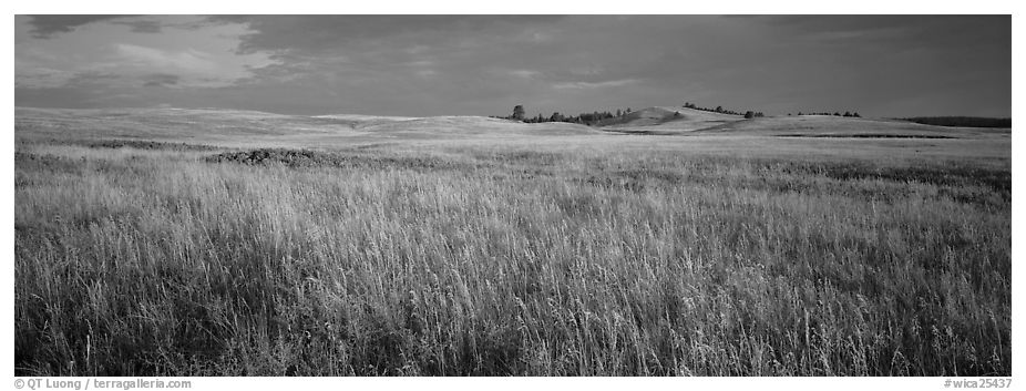 Prairie grasses at sunrise. Wind Cave National Park (black and white)
