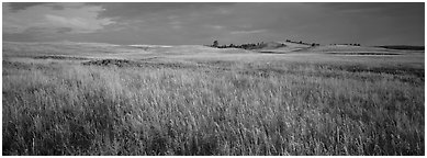 Prairie grasses at sunrise. Wind Cave  National Park (Panoramic black and white)