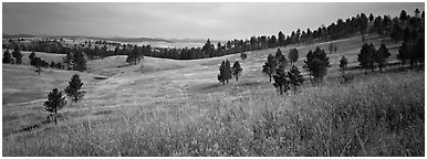 Prairie, hills, and Ponderosa pine trees. Wind Cave  National Park (Panoramic black and white)