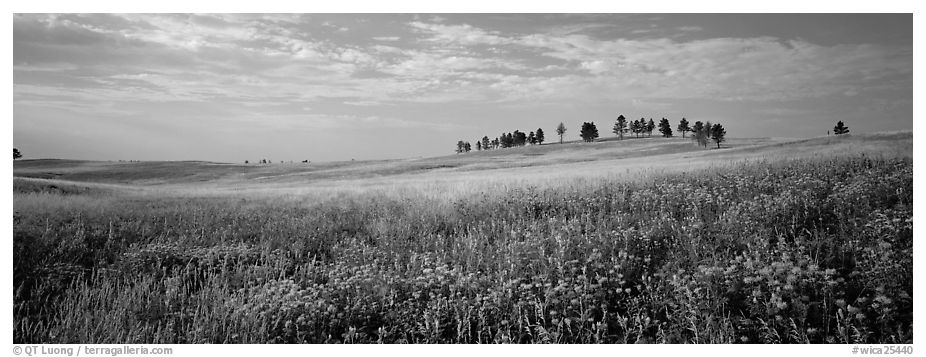 Prairie landscape with wildflowers and trees. Wind Cave  National Park (black and white)