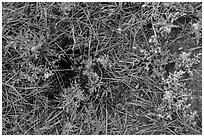 Ground close-up with grasses, flowers, and prairie dog burrow entrance. Wind Cave National Park, South Dakota, USA. (black and white)