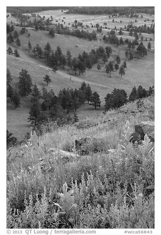Wildflowers on Rankin Ridge and ponderosa pines. Wind Cave National Park (black and white)