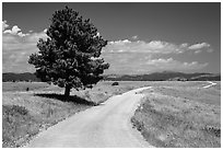 Gravel road and pine tree. Wind Cave National Park, South Dakota, USA. (black and white)