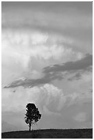 Lone tree and storm cloud, sunset. Wind Cave National Park, South Dakota, USA. (black and white)
