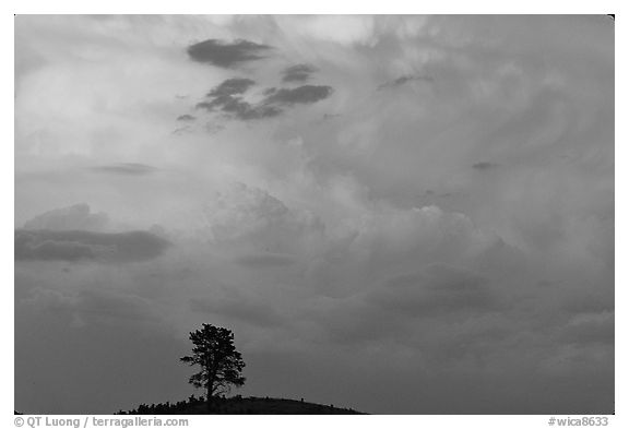 Ponderosa pine on hill and pink storm cloud, sunset. Wind Cave National Park (black and white)