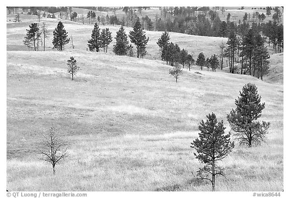 Ponderosa pines on rolling hills. Wind Cave National Park (black and white)