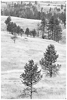 Rolling hills with ponderosa pines. Wind Cave National Park, South Dakota, USA. (black and white)