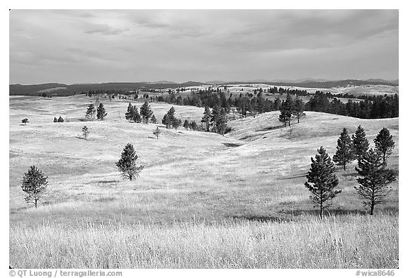 Ponderosa pines and rolling hills near Gobbler Pass. Wind Cave National Park (black and white)