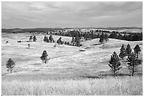 Ponderosa pines and rolling hills near Gobbler Pass. Wind Cave National Park, South Dakota, USA. (black and white)