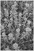 Wild Bergamots (Monarda fistulosa, Lamiaceae). Wind Cave National Park ( black and white)