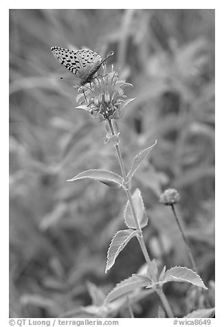 Butterfly on horsemint flower (Monarda fistulosa, Lamiaceae). Wind Cave National Park (black and white)