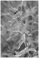 Butterfly on horsemint flower (Monarda fistulosa, Lamiaceae). Wind Cave National Park ( black and white)