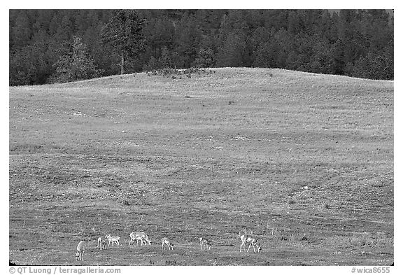 Pronghorn Antelope and hill. Wind Cave National Park (black and white)