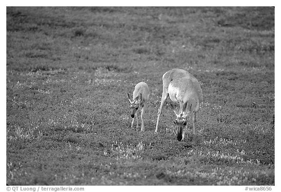 Pronghorn Antelope cow and calf. Wind Cave National Park (black and white)