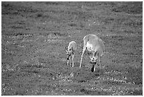 Pronghorn Antelope cow and calf. Wind Cave National Park ( black and white)