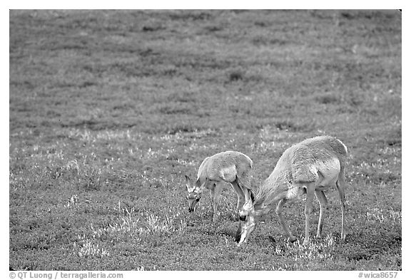 Pronghorn Antelope cow and calf in the prairie. Wind Cave National Park (black and white)