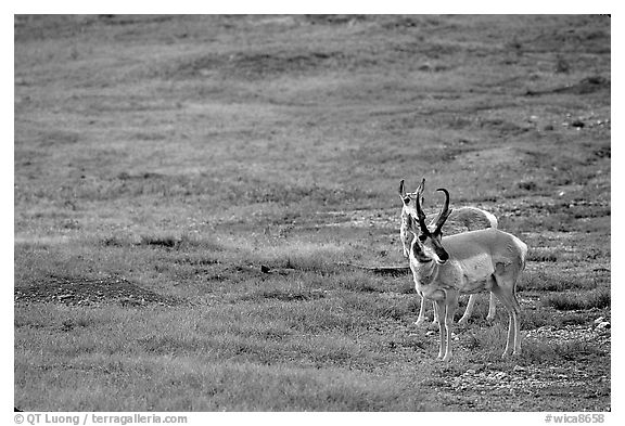Pronghorn Antelope bull and cow. Wind Cave National Park (black and white)