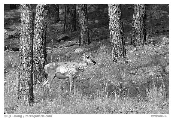 Pronghorn Antelope in pine forest. Wind Cave National Park (black and white)