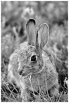 Cottontail rabbit. Wind Cave National Park, South Dakota, USA. (black and white)