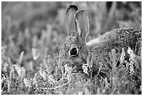Rabbit and wildflowers. Wind Cave National Park ( black and white)