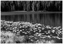 Lilies on a small lake. Yellowstone National Park, Wyoming, USA. (black and white)