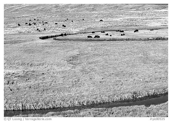 Yellowstone River, meadow, and bisons in Heyden Valley. Yellowstone National Park (black and white)