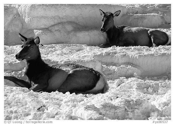 Female Elk on travertine terraces at Mammoth Hot Springs. Yellowstone National Park (black and white)