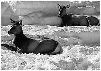 Female Elk on travertine terraces at Mammoth Hot Springs. Yellowstone National Park, Wyoming, USA. (black and white)