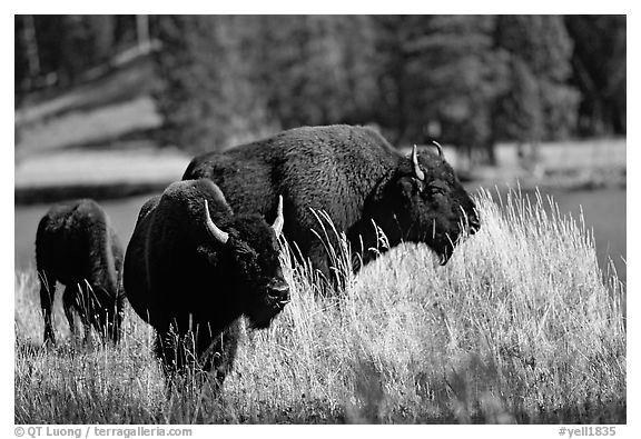 Group of buffaloes. Yellowstone National Park (black and white)