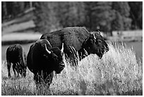 Group of buffaloes. Yellowstone National Park, Wyoming, USA. (black and white)