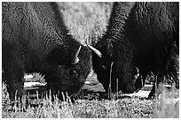 Two buffaloes head to head. Yellowstone National Park, Wyoming, USA. (black and white)