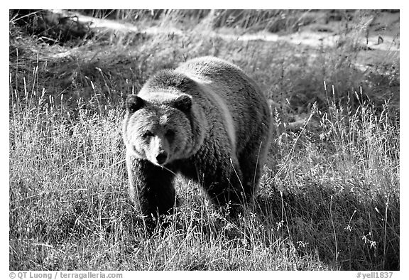 Grizzly bear. Yellowstone National Park (black and white)