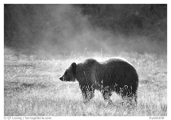 Black and white picture photo grizzly bear and thermal steam yellowstone national park